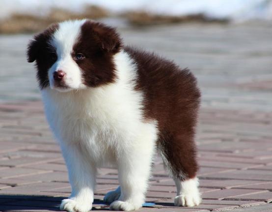 株洲什么地方有狗场卖宠物狗/株洲哪里有卖边境牧羊犬