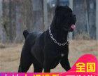 哪里有卖卡斯罗犬卡斯罗犬多少钱 支持全国发货