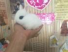 长期批发零售各种宠物垂耳兔侏儒兔