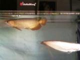 红尾金龙鱼 有证书 有芯片