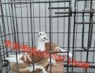 近期元宝鸽一对多少钱、元宝鸽种鸽图片