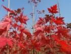 丹东,长海,沈阳,本溪美国红枫苗圃出售红枫苗
