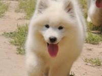 萨摩耶什么地方买好 广州萨摩耶哪里买狗狗价位比较中等