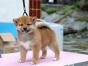 中国较大双血统柴犬繁殖基地 可实地考察