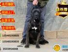 世界第一护主犬卡斯罗 专业繁殖 可签协议 欢迎上门