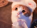 大理赛级海双布偶猫幼猫猫咪活物可爱小型纯种