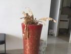 大花盆急转,发财树蕨类千手观音盆