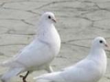 嘉祥哪里有种鸽养殖场