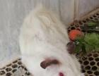 自家生荷兰猪 天竺鼠 豚鼠 纯白色短逆红颜基因好