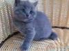 纯种大脸精致蓝猫出售