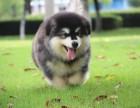 苏州可爱雪橇犬阿拉斯加,充满活力,傲娇可爱,对主人忠心