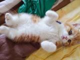 北京市哪有家养网红英短小橘猫出售