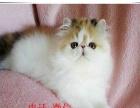 超可爱的加菲猫宝宝 公母都有 防疫已做保证健康纯种