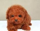 绵阳哪里出售泰迪犬 绵阳泰迪犬多少钱