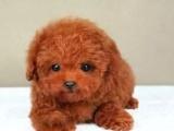 重庆泰迪犬多少钱 重庆哪里出售泰迪犬
