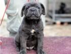 郑州哪有卡斯罗犬卖 郑州卡斯罗犬价格 郑州卡斯罗犬多少钱