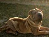 纯血统高品质沙皮犬找爸妈了 公母都有价格可以在优惠质保半年