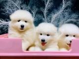 广州 出售纯种萨摩耶幼犬 品相出众 签协议保健康