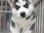 北京国泰宠物狗场出售哈士奇犬1500到10000元