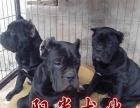 纯种卡斯罗 专业繁殖卡斯罗犬 品质健康保障