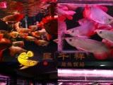 龙鱼批发金头过背金龙 金龙鱼 超血 红龙 红龙鱼