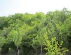 急急.宾县大顶山水电站.开发区林出售85亩