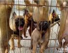 比利时牧羊犬幼犬 马犬出售 纯种马犬幼犬工作犬基地血统