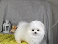 专业繁殖超小体(球体)博美/俊介犬丨现场协议保健康