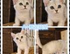 苏州本地家庭猫舍出售猫咪,品相极佳,健康保障面签协议上门挑选