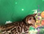 极品孟加拉猫出售