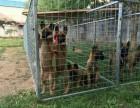 山西太原-出售精品马犬,血统马犬幼犬,2-4个月马犬