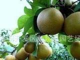 供应梨树苗价格低皇冠梨树苗黄金梨树苗晚秋黄梨山东梨树苗基地