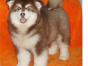 推荐犬舍 唐山哪里有卖纯种阿拉斯加,阿拉斯加多少钱?
