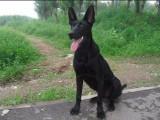 精品墨界黑狼犬,黑狼幼犬正规犬舍出售高品质繁育基地