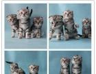 萌萌哒苏格兰折耳猫 多颜色折耳小猫 专业繁殖更健康