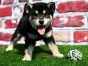微笑柴犬 聪明可爱家庭伴侣犬 健康保障 自家繁殖