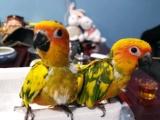 出售金太阳鹦鹉 和尚鹦鹉 亚历山大鹦鹉 越南鹩哥 吸蜜鹦鹉