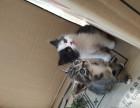 家养3只2个月大可爱猫星人