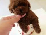 萌萌哒小可爱玩具泰迪宝贝出售了,娃娃脸黑鼻头保健康