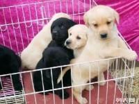 良心犬业丨卖健康宠物丨拉布拉多丨签协议包养活 优惠多多