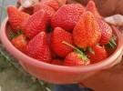 2018一年一度草莓季节吃郑氏奶油草莓烧烤农家乐活动