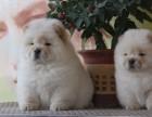 惠州哪有松狮犬卖 惠州松狮犬价格 惠州松狮犬多少钱