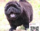 哪里有卖松狮犬 出售纯种松狮犬犬舍在哪里
