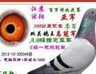 超音速提供云贵川飞山破雾优秀血统种鸽 信鸽 赛鸽 赛鸽价格