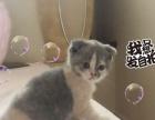 家里猫咪出售精品蓝白蓝猫折耳猫短毛猫美短