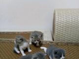 家养蓝白猫便宜出