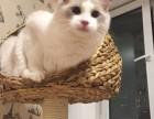正规猫舍售高品质纯血统 布偶猫 签署质保 对外借配