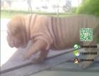 哪一家宠物店卖纯种健康的沙皮犬多少钱一只