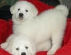 南京狗场直销纯种大白熊犬 本地上门自取 可送货上门 包健康