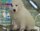 大骨架品相佳大毛量大白熊 憨厚老实大白熊
